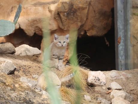 Un chat des sables du zoo de Lyon - LyonMag