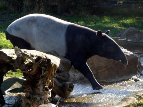 Un tapir malais, futur star du parc de la Tête d'Or - LyonMag