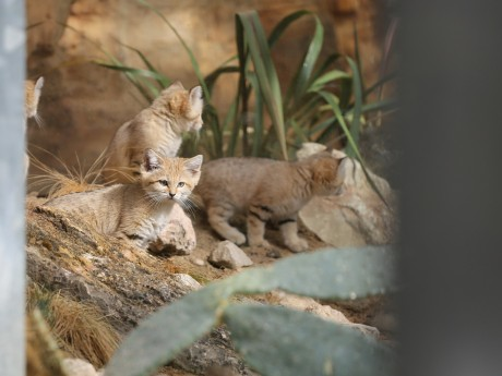 Les chats des sables n'ont pas leur place à Lyon selon EELV - LyonMag