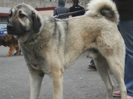Un berger d'Anatolie adulte peut peser jusqu'à 75 kilos - DR Pleple2000