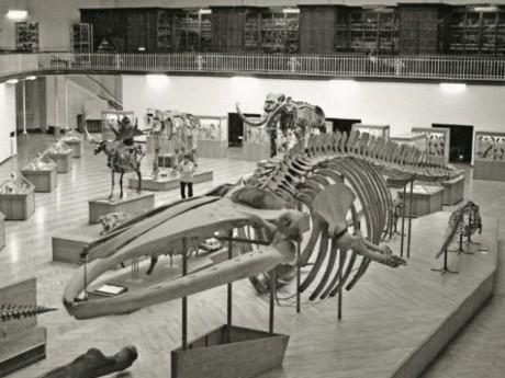 Squelette de baleine présenté dans la grande salle du Musée Guimet, Lyon (entre 1963 et 1967) - Photo Muséum d'histoire naturelle