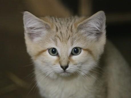 L'un des chatons des sables nés les 20 janvier - LyonMag
