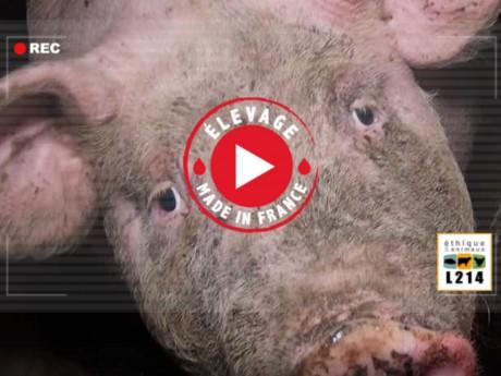 Vidéo sur l'élevage de cochons - L214