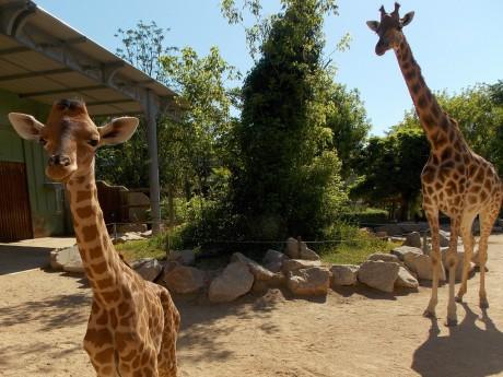 Le girafon et sa maman - DR
