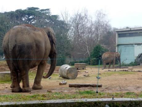 Les élephants du zoo du Parc de la Tête d'Or - Lyonmag.com