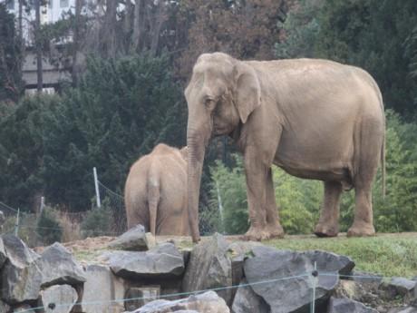 Baby et Népal lorsqu'elles occupaient l'enclos du parc lyonnais - LyonMag