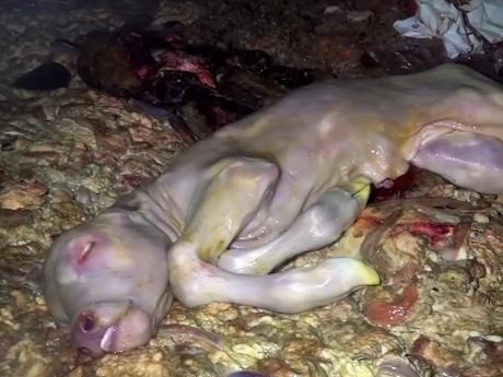 Un foetus de veau, jeté avec les entrailles de sa mère - Capture d'écran DR