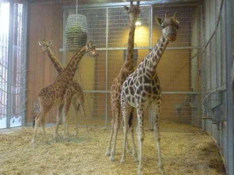 L'une de ces girafes est maman - Photo Lyonmag