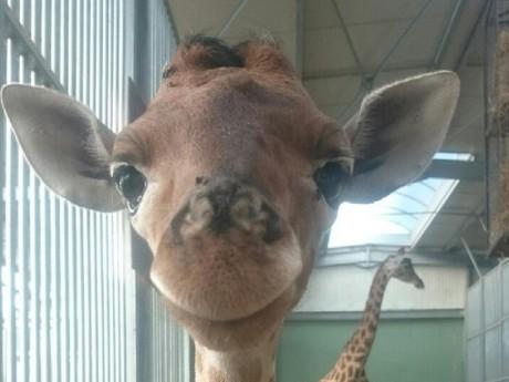 La photo du premier girafon a fait le tour des réseaux sociaux - DR