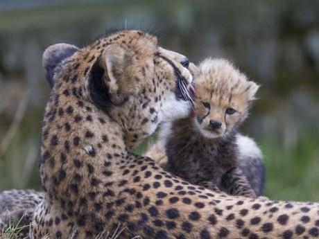 L'un des bébés guépards du Safari de Peaugres - DR Safari de Peaugres Arthus Boutin