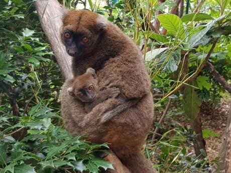 Un bébé hapalémur est né au parc de la Tête d'Or - DR