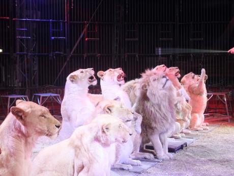 Les lions du cirque Pinder - LyonMag