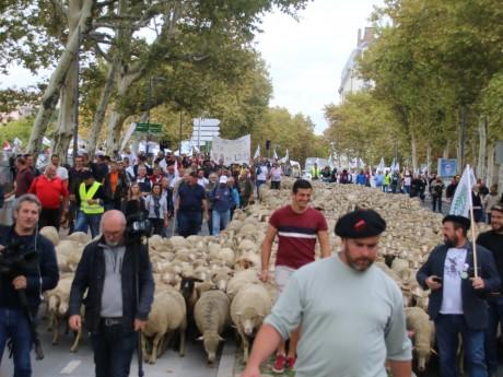 Les éleveurs et leurs moutons ont manifesté à Lyon contre le Plan loup - Lyonmag.com