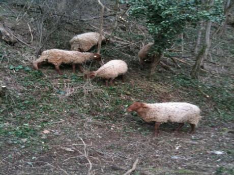 Les moutons à l'oeuvre pour encore un mois entre Craponne et Francheville - LyonMag