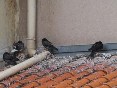 Pigeons sur un des toits de la résidence - Photo d'une habitante