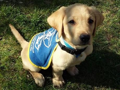Pongo - DR/Association des chiens guides d'aveugles de Lyon et du Centre Est