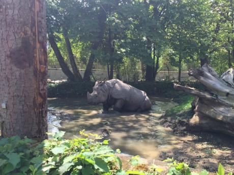 Un rhinocéros de Touroparc - LyonMag