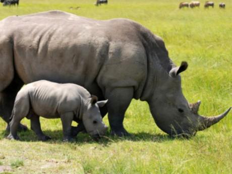 Rhinocéros blanc - Photo DR