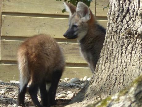 Les petits loups à crinière du Safari de Peaugres - DR