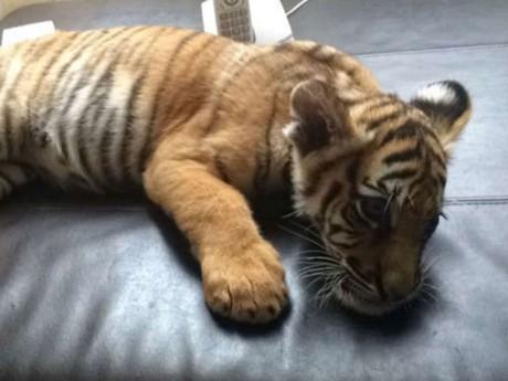 Le tigre retrouvé à Noisy-le-Sec - DR