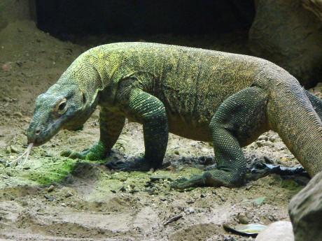Dragon de Komodo - DR