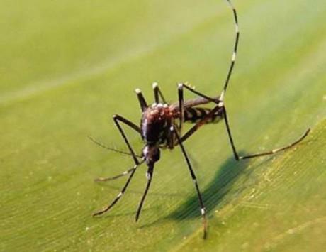Le moustique-tigre - DR