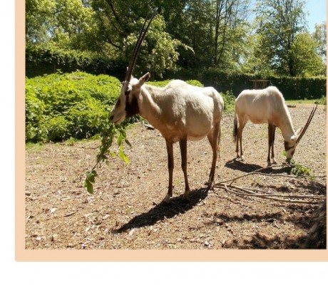Oryx d'Arabie - DR