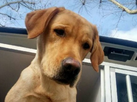 Natcho était l'un des deux labradors disparus - DR