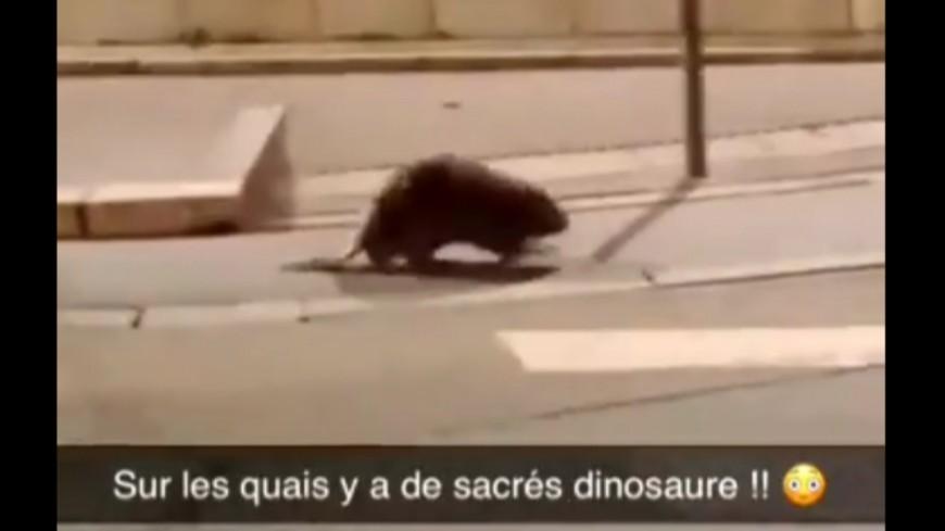 Les vidéos d'un castor dans les rues de Lyon font le buzz !