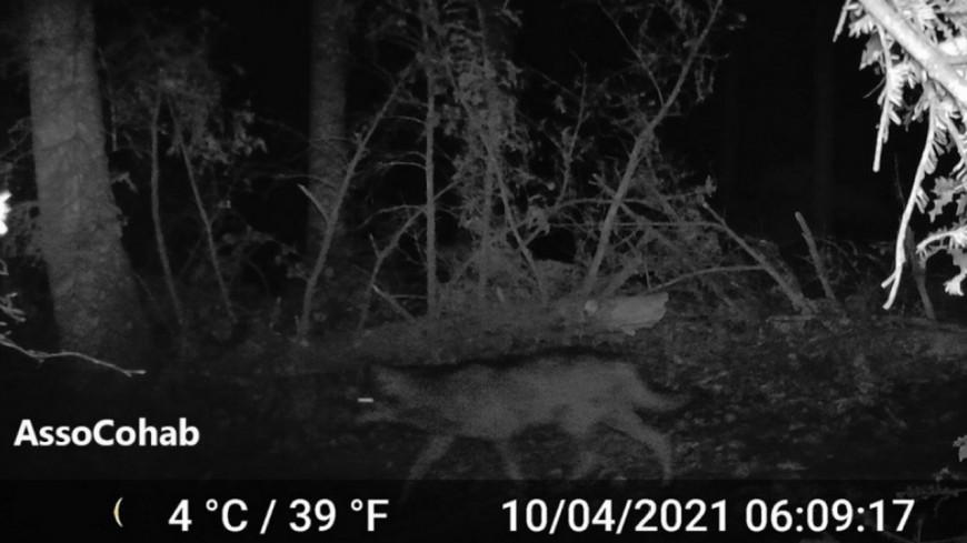 Un loup identifié dans le Rhône, deux attaques de moutons recensées
