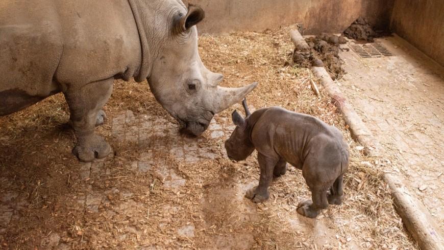 Naissance d'un bébé rhinocéros blanc au Safari de Peaugres !