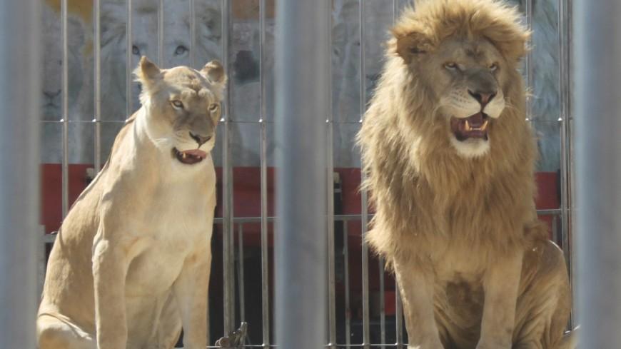 Un collectif citoyen demande à la maire de Vaulx-en-Velin de bannir les cirques avec animaux