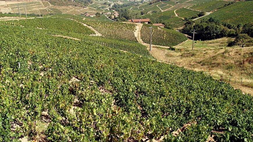 Près de Lyon : renversée au milieu des vignes, la victime dans un état grave, le chauffard en fuite