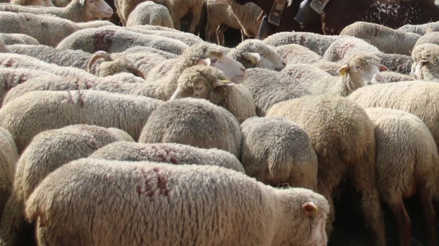 La Ville de Lyon organise une transhumance de mouton en plein centre-ville