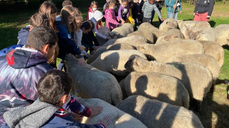 Des moutons dans la ville : départ de la transhumance du Grand Lyon