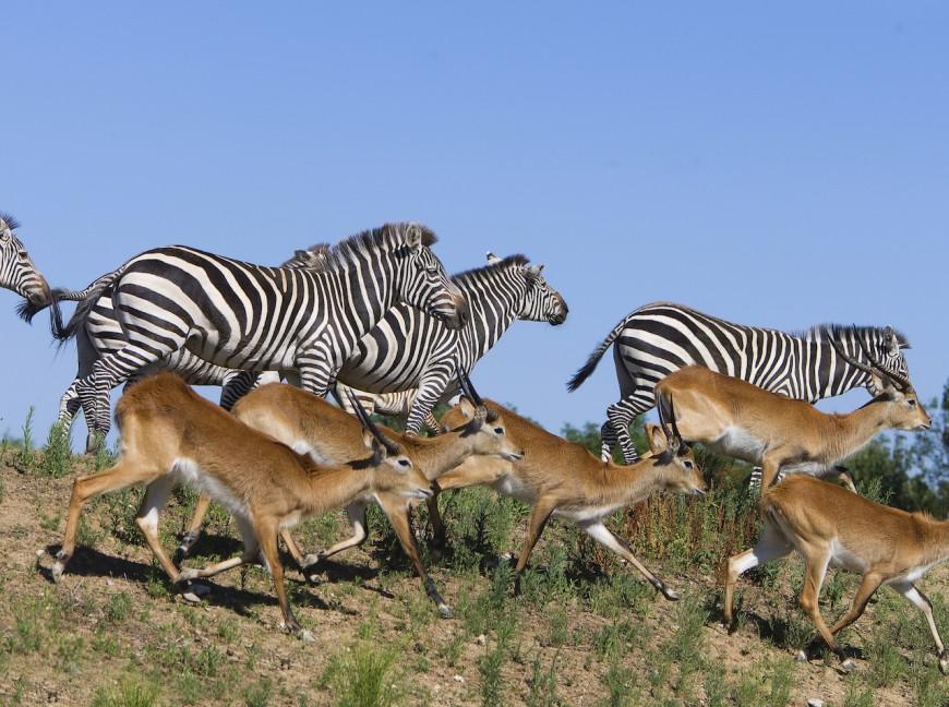 Le safari de Peaugres rouvre intégralement ce mercredi