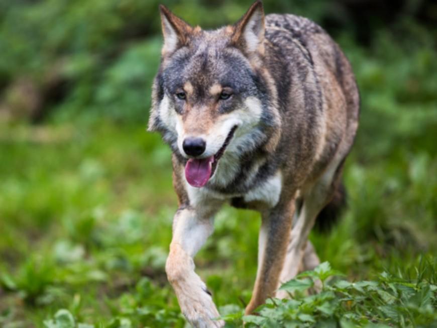 Une manifestation contre la chasse aux loups le 16 janvier à Lyon