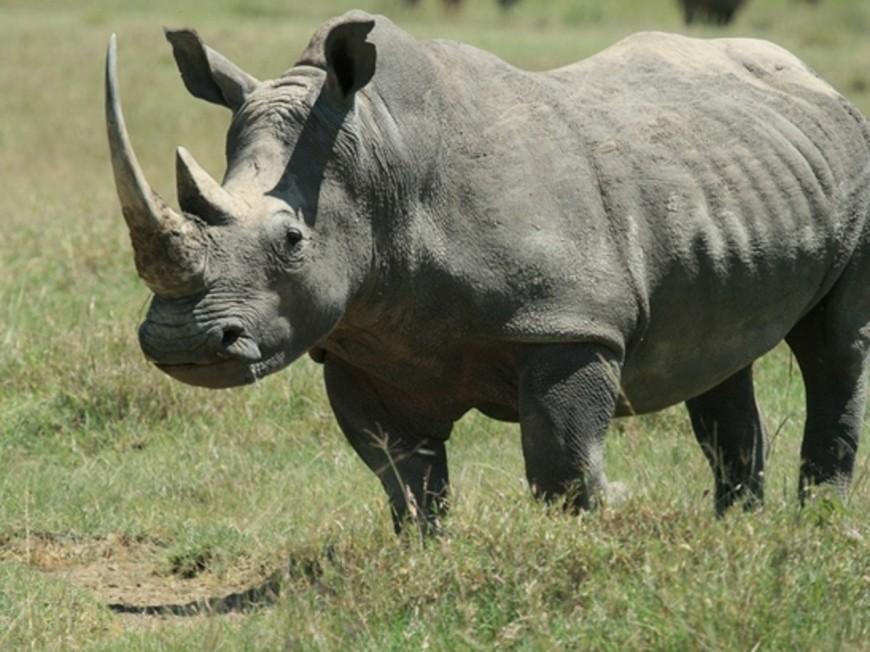Braconnage au zoo de Thoiry : le Safari de Peaugres craint pour les cornes de ses rhinocéros
