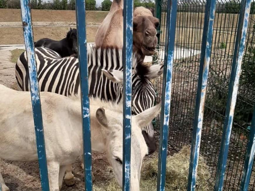 Zèbres et dromadaires parqués près de Lyon: les animaux vont quitter les lieux