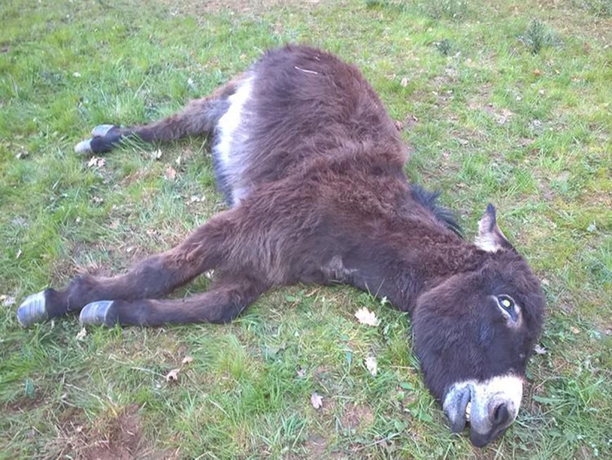Un âne abattu au calibre 22 près de Lyon