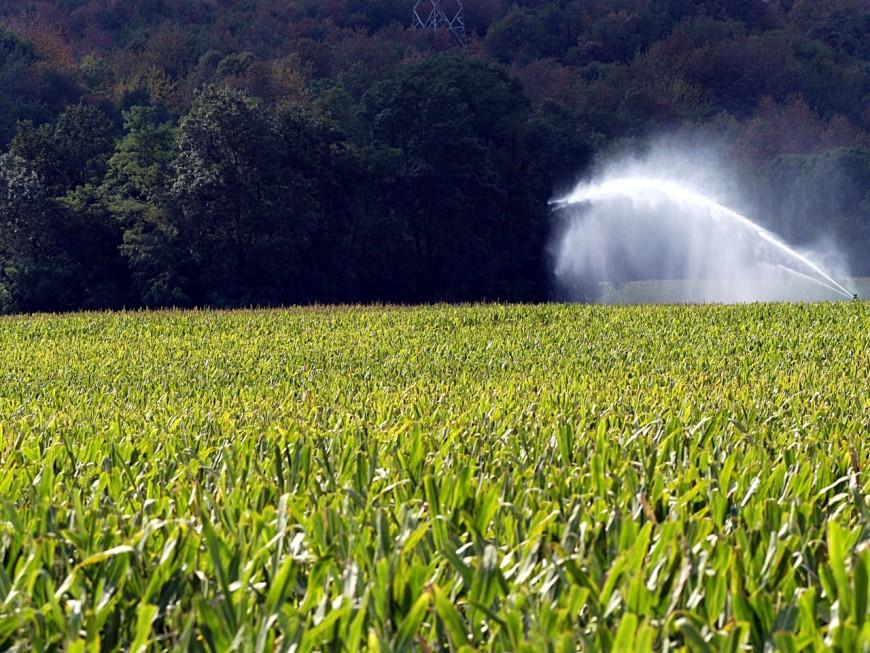 Rhône : en plein rodéo…dans un champ de maïs