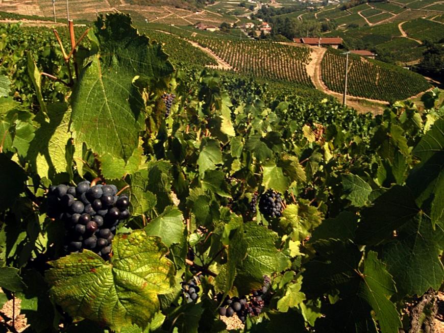 Avec le Plan Beaujolais, le Département et la Région au chevet des vignobles
