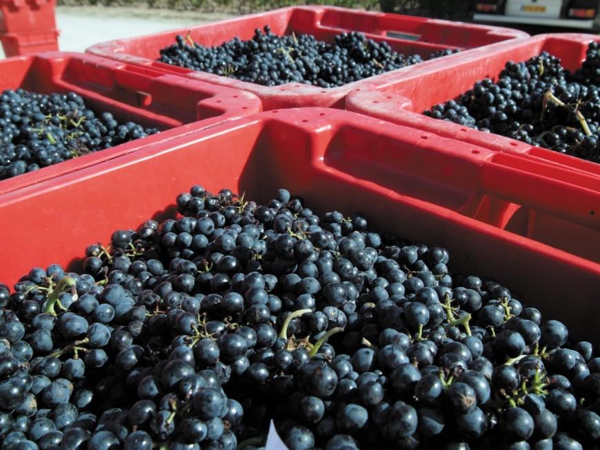 Beaujolais : ils se mobilisent pour vendanger les vignes d'un viticulteur grièvement blessé