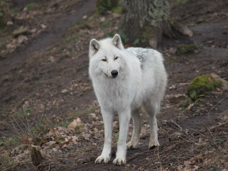 """Parc de Courzieu : """"L'hiver, c'est là que les loups sont les plus beaux"""""""