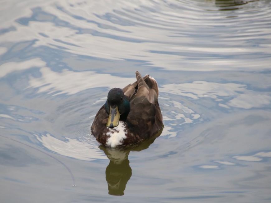 Filmé en train d'essayer de voler les canards d'une ville près de Lyon