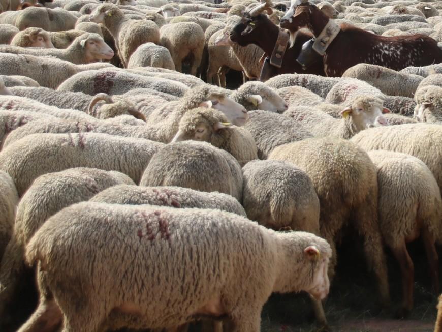Des moutons investissent la prison de St Quentin Fallavier