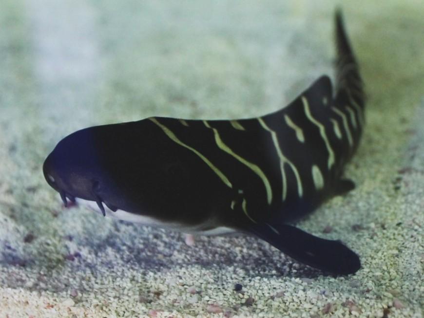 Carnet rose : naissance d'un bébé requin à l'Aquarium de Lyon