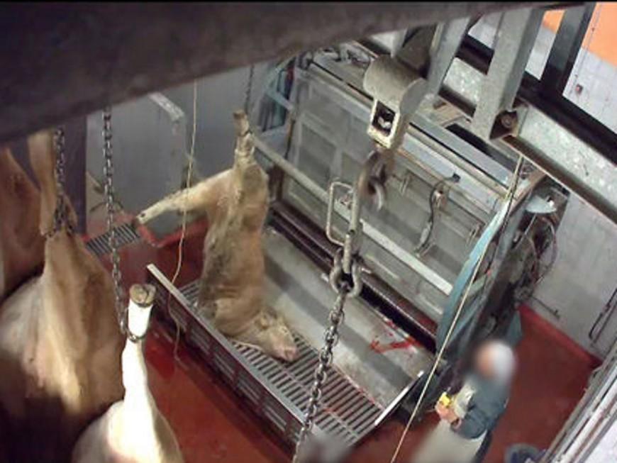 Images insoutenables : l'association L214 à nouveau infiltrée dans deux abattoirs