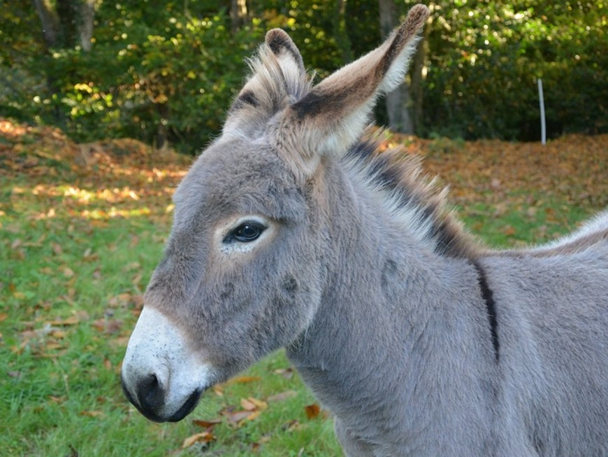 Beaujolais : ivre, il erre en ville avec son âne