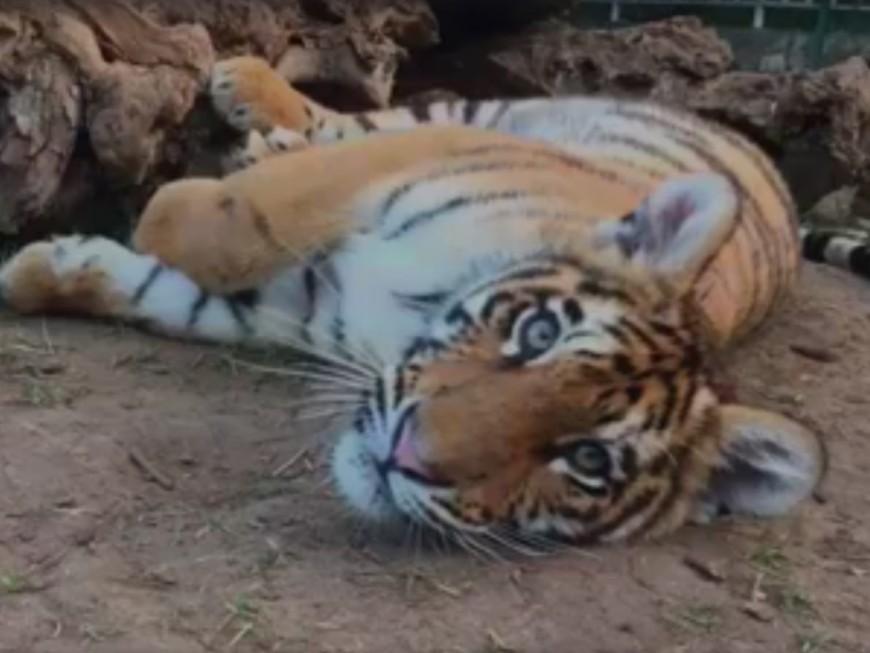 Sauvés d'un trafic clandestin au Liban, trois jeunes tigres pris en charge près de Lyon